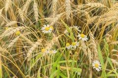 谷物和野生雏菊的Rire耳朵在热的夏天中午在农场 农村背景 免版税库存图片