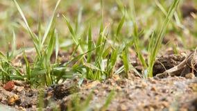 谷物植物生长在领域的,早晨滴下 股票视频