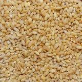 谷物燕麦 库存照片