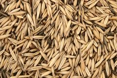 谷物燕麦 免版税库存照片