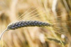 谷物的域 库存图片