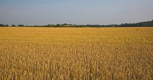 谷物的域 库存照片
