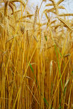 谷物的耳朵 免版税库存图片