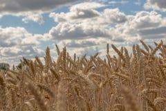 谷物的金黄领域反对多云天空的 免版税库存图片