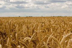 谷物的金黄领域反对多云天空的 图库摄影