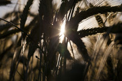 谷物的领域在夏天 免版税库存图片