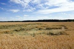 谷物的领域在夏天 库存图片