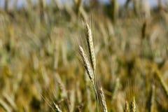 谷物的领域在夏天 免版税库存照片