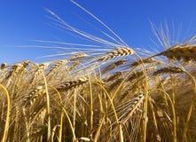 谷物的领域在夏天 图库摄影