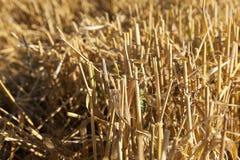 谷物的领域在夏天 库存照片