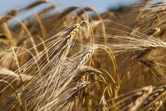 谷物的领域,夏天 免版税库存照片