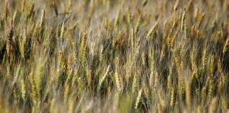 谷物的领域 免版税图库摄影