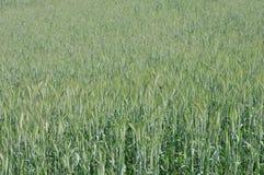 谷物绿色 免版税库存照片