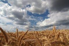 谷物耳朵天空 库存图片