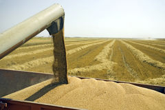 谷物麦子 免版税图库摄影