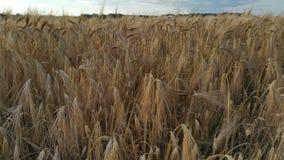 谷物:大麦领域 免版税图库摄影
