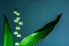 谷的Lilly的枝杈在蓝色背景的 铃兰草majalis 宏指令 免版税图库摄影