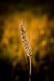 谷粒麦子 免版税库存图片