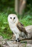 谷仓猫头鹰在森林里 库存照片