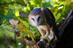 谷仓猫头鹰在科罗拉多公园 免版税库存图片