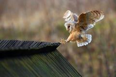 谷仓猫头鹰,晨曲的Tyto,在木屋顶的鸟着陆,行动场面在自然栖所,飞鸟,法国 库存照片