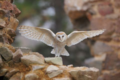 谷仓猫头鹰, Tyto晨曲,当精密翼飞行在石墙上,在老城堡的轻的鸟着陆,动物在城市生活环境,单位 库存图片