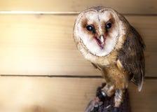 谷仓猫头鹰(晨曲的Tyto) 免版税库存照片