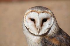 谷仓猫头鹰(晨曲的Tyto) 免版税库存图片