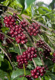 豆原始樱桃的咖啡 免版税库存照片