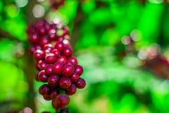 豆原始樱桃的咖啡 库存照片