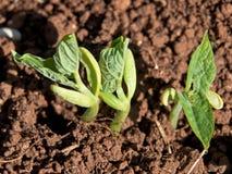 豆发芽种子 免版税库存照片