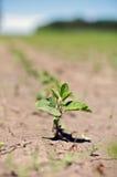豆培养了农田开放新芽 免版税图库摄影