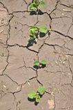 豆天旱顶上的新芽奋斗视图 免版税库存图片