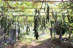 黎豆属pruriens豆在果树园 免版税库存图片