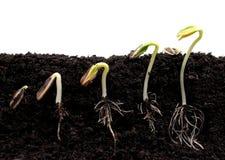 豆排序发芽向日葵 免版税图库摄影