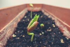 豆植物生长 免版税库存照片