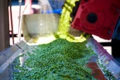 绿豆的生产的运作的过程在罐头工厂的 库存照片