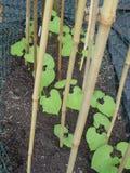 豆种子 免版税库存照片