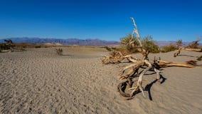 豆科灌木平的沙丘在死亡谷 库存照片