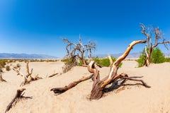 豆科灌木平的沙丘在死亡谷国家公园加利福尼亚 库存照片