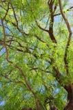 豆科灌木树叶子 免版税库存照片