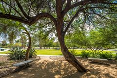 豆科灌木树在公园 免版税库存照片