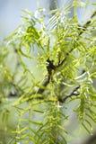 豆科灌木树 免版税库存图片