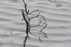 豆科灌木沙丘 图库摄影