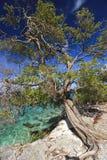 豆科灌木结构树 库存图片