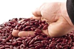 豆肾脏红色 免版税图库摄影