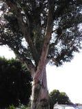 豆荚树 库存图片