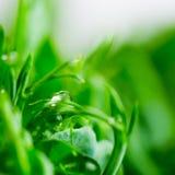 豆绿色年轻卷须种植在生长容器的射击 库存图片