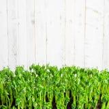 豆绿色年轻卷须种植在生长容器的射击 免版税库存图片