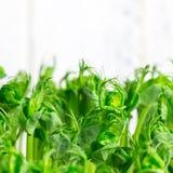 豆绿色年轻卷须种植在生长容器的射击 图库摄影